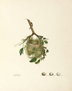 Art Prints of Orchard Oriole Nest, Plate XL, American Bird Nests