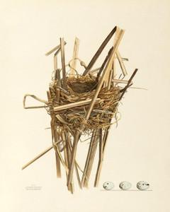 Art Prints of Red Winged Blackbird Nest, Plate V, American Bird Nests