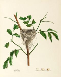 Art Prints of Traill's Flycatcher Nest, Plate XXXV, American Bird Nests