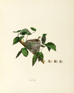 Art Prints of Summer Warbler Nest, Plate XV, American Bird Nests