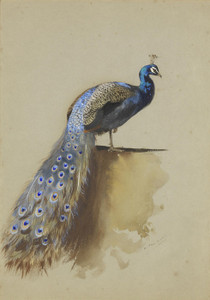 Art Prints of Peacock by Archibald Thorburn