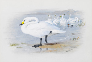 Art Prints of Bewick's Swan by Archibald Thorburn