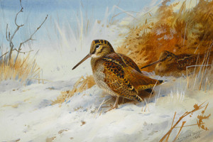 Art Prints of Winter Woodcock by Archibald Thorburn