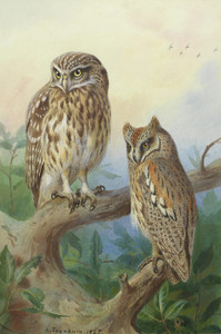 Art Prints of Little Owl and Scops Owls by Archibald Thorburn