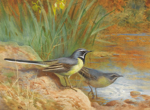 Art Prints of Grey Wagtails by Archibald Thorburn