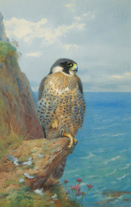 Art Prints of Peregrine at Auchencairn by Archibald Thorburn