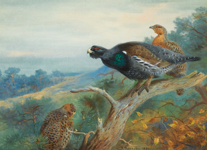 Art Prints of Capercaillie by Archibald Thorburn