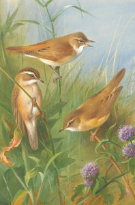 Art Prints of Sedge Reed and Marsh Warble by Archibald Thorburn