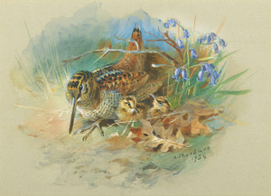 Art Prints of Woodcock and Young by Archibald Thorburn