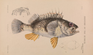 Art Prints of Ocean Perch or Helicolenus Percoides by Arthur Bartholomew