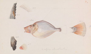 Art Prints of Silver Dory or Cyttus Australis by Arthur Bartholomew