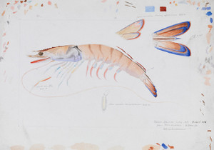 Art Prints of Prawn by Arthur Bartholomew