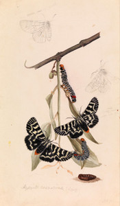 Art Prints of Vine Moth or Comocrus Behri by Arthur Bartholomew