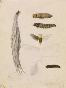 Art Prints of Saunders 27 Case Moth Metura Elongatus by Arthur Bartholomew