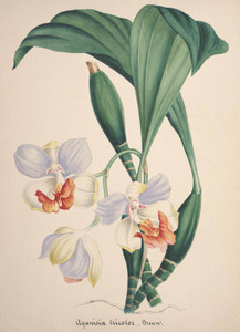 Aganisia, No. 77, Orchid Collection | Fine Art Print