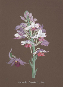 Art Prints of Calanthe, No. 7, Orchid Collection