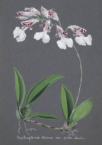 Art Prints of Burlingtonia, No. 50, Orchid Collection