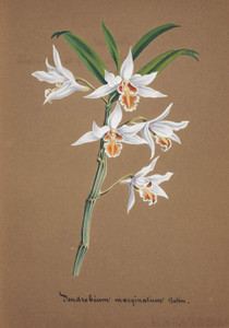 Art Prints of Dendrobium, No. 34, Orchid Collection