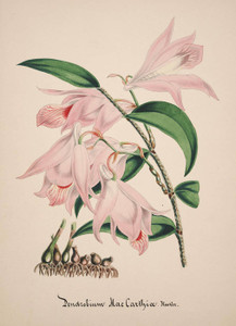 Art Prints of Dendrobium, No. 23, Orchid Collection