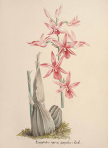 Art Prints of Limatodis or Calanthe Rosea, No. 56, Orchid Collection