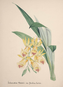 Art Prints of Galeandra, No. 73, Orchid Collection