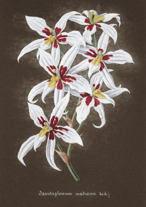 Art Prints of Odontoglossum, No. 53, Orchid Collection