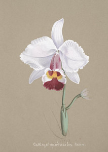 Art Prints of Cattleya, No. 16, Orchid Collection