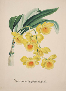 Art Prints of Dendrobium, No. 22, Orchid Collection