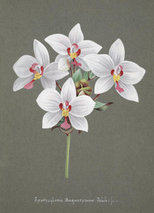 Art Prints of Dendrobium, No. 24, Orchid Collection