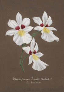 Art Prints of Odontoglossum, No. 25, Orchid Collection