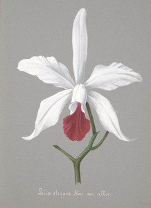 Art Prints of Lelia, No. 3, Orchid Collection