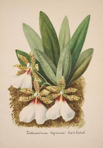 Art Prints of Trichocentrum, No. 30, Orchid Collection