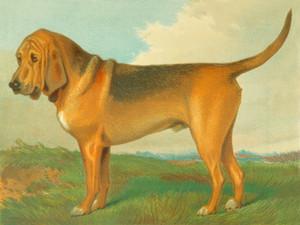 Art Prints of Bloodhound III by Vero Shaw
