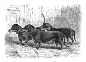 Art Prints of Dachshunds by Vero Shaw