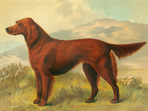 Art Prints of Irish Setter by Vero Shaw