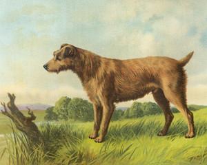 Art Prints of Irish Terrier II by Vero Shaw