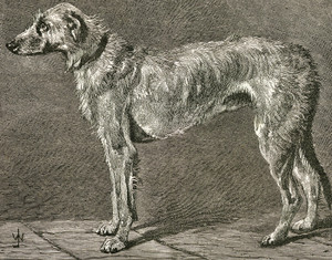 Art Prints of Irish Wolfhound II by Vero Shaw