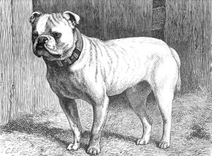 Art Prints of Mr. Meyers Bulldog, Bismark by Vero Shaw