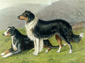 Art Prints of Sheepdogs by Vero Shaw