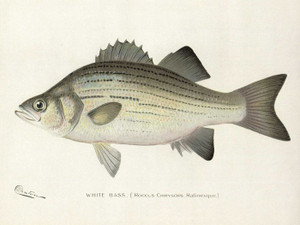 Art Prints of White Bass by Sherman Foote Denton