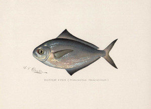 Art Prints of Butter Fish by Sherman Foote Denton