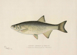 Art Prints of Golden Shiner or Bream by Sherman Foote Denton