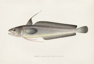 Art Prints of Hake by Sherman Foote Denton