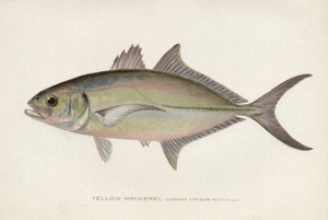 Art Prints of Yellow Mackerel by Sherman Foote Denton