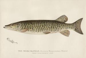 Art Prints of Mascalonge from Chautaqua Lake by Sherman Foote Denton