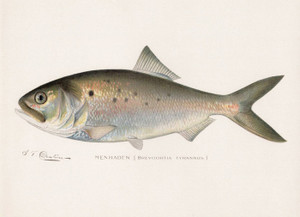 Art Prints of Menhaden by Sherman Foote Denton