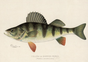 Art Prints of Yellow or Barred Perch by Sherman Foote Denton