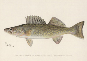 Art Prints of Pike Perch or Walleye by Sherman Foote Denton