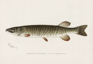 Art Prints of Banded Pickerel by Sherman Foote Denton