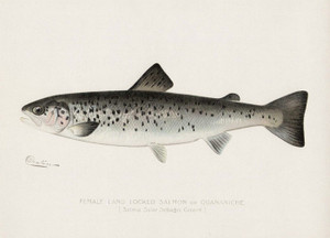 Art Prints of Landlocked Salmon, Female by Sherman Foote Denton